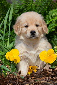 Golden Retriever puppy at 5 weeks, in garden with yellow pansies. Kingston, Illinois - Lynn M Stone