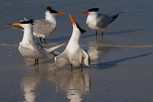 Royal Terns (Thalasseus maximus) in foreground with Caspian Tern (Sterna caspia) pair in background, note much more slender, more orange bills of Royal Terns, in breeding plumage, on shoreline of Tamp...  -  Lynn M Stone