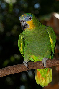 Orange-Winged Amazon Parrot (Amazona amazonica) captive, from east of Andes from Colombia to southeast Brazil - Lynn M Stone