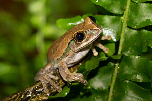 Big-Eyed Treefrog (Leptopelis vermiculatus) captive, from forests of Tanzania - Lynn M Stone