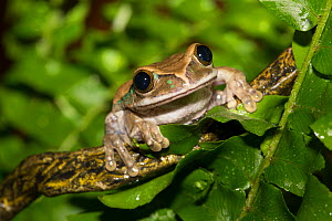 Big-Eyed Treefrog (Leptopelis vermiculatus) captive from forests of Tanzania. Non-exclusive - Lynn M Stone