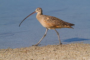 Long-Billed Curlew (Numenius americanus) hunting in sand for Fiddler Crabs while wintering on Mullet Key, Tampa Bay, Florida, USA  -  Lynn M Stone