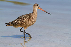 Marbled Godwit (Limosa fedoa) hunting at low tide for marine prey, Tampa Bay, Pinellas County, Florida, USA  -  Lynn M Stone