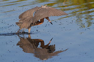 Reddish Egret (Egretta rufescens) in characteristic umbrella while hunting small marine fish, Pinellas County, Florida, USA - Lynn M Stone