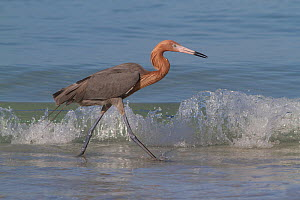 Reddish Egret (Egretta rufescens) hunting small marine fish at surf's edge, Tampa Bay, Pinellas County, Florida, USA - Lynn M Stone