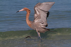 Reddish Egret (Egretta rufescens) chasing small marine fish at surf's edge, Tampa Bay, Pinellas County, Florida, USA  -  Lynn M Stone