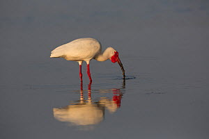 White Ibis (Eudocimus albus) in breeding plumage, capturing an eel-like fish in shallows of Tampa Bay at low tide, St. Petersburg, Florida, USA  -  Lynn M Stone