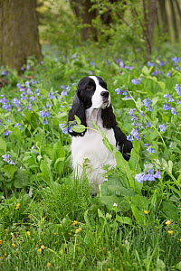 English Springer Spaniel in Virginia Cowslip (Lamprocapnos spectabilis) Rockton, Illinois, USA  -  Lynn M Stone