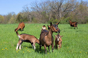 Oberhasli dairy goats, nanny goat and mixed-breed kids in spring pasture, East Troy, Wisconsin, USA  -  Lynn M Stone