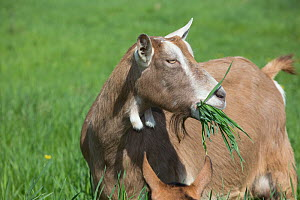 Toggenburg dairy goat in spring pasture, East Troy, Wisconsin, USA  -  Lynn M Stone