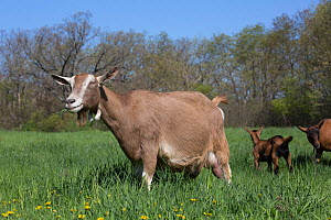 Toggenburg dairy goat in spring pasture with Oberhasli dairy goat kid and nanny goat in background, East Troy, Wisconsin, USA  -  Lynn M Stone