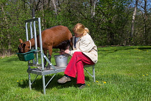 Owner milking an Oberhasli dairy nanny goat on a portable aluminum milking stand, East Troy, Wisconsin, USA  -  Lynn M Stone