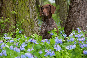 German Shorthaired Pointer in Virginia Cowslip (Lamprocapnos spectabilis) Rockton, Illinois, USA - Lynn M Stone