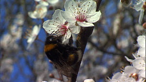 Buff-tailed bumble bee (Bombus terrestris) queen flying and feeding from plum blossom, France, March. - Ammonite