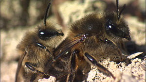 Pair of Mining bees (Andrena praecox) mating, interupted by a second male, France, March. - Ammonite