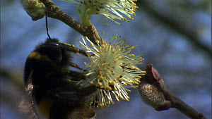 Close-up of a Buff-tailed bumble bee (Bombus terrestris) feeding from Willow (Salix) catkins, before flying out of frame, France, March.  -  Ammonite
