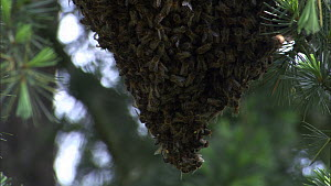 Close-up shot panning up a swarm of Honey bees (Apis mellifera) hanging from a fir tree, France, April. - Ammonite