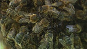 Close-up of Honey bees (Apis mellifera) performing a waggle dance on the edge of a swarm, indicating the position and quality of a food source, France, April. - Ammonite