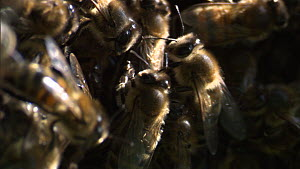Close-up of Honey bees (Apis mellifera) moving on the edge of a swarm, France, April. - Ammonite