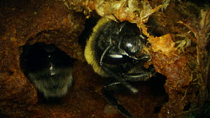 Buff-tailed bumble bee (Bombus terrestris) nest building, France, May.  -  Ammonite