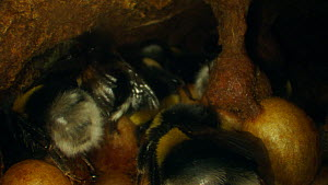 Buff-tailed bumble bees (Bombus terrestris) inside nest, France, May.  -  Ammonite