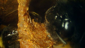 Close-up of Buff-tailed bumble bee (Bombus terrestris) repairing a wax cell containing eggs inside nest, France, May.  -  Ammonite