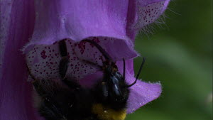 Close-up of a Bumble bee (Bombus) feeding from Foxglove (Digitalis) flower, France, May.  -  Ammonite