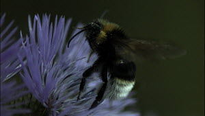 Slow motion clip of a White-tailed bumble bee (Bombus lucorum) taking off from a flower, France, June. - Ammonite