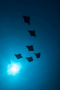 Devil rays (Mobula japonica) viewed from below, South Ari atoll, Maldives. - Michael Pitts