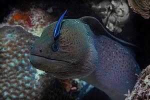 Giant moray (Gymnothorax javanicus) with juvenile Bluestreak cleaner wrasse (Labroides dimidiatus) Maldives.  -  Michael Pitts