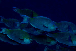 Dusky-capped parrotfish (Scarus scaber) in feeding group. South Ari Atoll. Maldives. - Michael Pitts