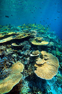 Table corals (Acropora) on the reef. South Ari Atoll. Maldives. - Michael Pitts