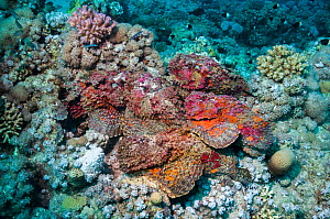 A group of six Reef stonefish (Synanceia verrucosa) in a mating congregation, the males jostling for position and swimming over the females.  The female stonefish releases its eggs on the bottom of th... - Georgette Douwma