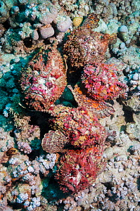 A group of five Reef stonefish (Synanceia verrucosa) in a mating congregation, the males jostling for position and swimming over the females.  The female stonefish releases its eggs on the bottom of t... - Georgette Douwma