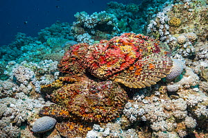 A group of Reef stonefish (Synanceia verrucosa) in a mating congregation, the males jostling for position and swimming over the females.  The female stonefish releases its eggs on the bottom of the se... - Georgette Douwma