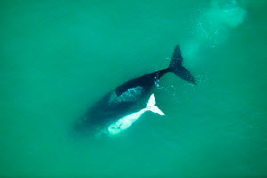 Aerial photograph of Southern Right Whale (Eubalaena australis) with white calf, near Cape Agulhas, South Africa, Southern Right  Western Cape Province, Indian Ocean, August  -  Richard Du Toit