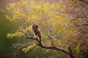 Pearlspotted Owl (Glaucidium perlatum) on branch, Kgalagadi, South Africa  -  Richard Du Toit