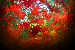Japanese maple (Acer palmatum) leaves floating in a small pond in late autumn in Seattle's Washington Park Arboretum. Washington USA  -  Floris van Breugel