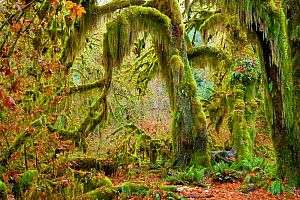Mossy beards hang from these big leaf maple trees (Acer macrophyllum) in the Hall of Mosses section of the Hoh Rainforest in  Olympic National Park. Washington. USA. November 2012 - Floris van Breugel