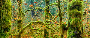 Late fall colors linger among the mossy trees (Acer macrophyllum) in the Hoh Rainforest in Olympic National Park. Washington, USA. November 2012 - Floris van Breugel