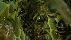 Honey bees (Apis mellifera) inside a hive, with honeycomb, France, July.  -  Ammonite