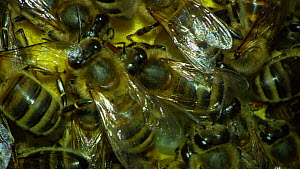 Close-up of Honey bees (Apis mellifera) inside hive, showing honeycomb and larvae, France, July. - Ammonite
