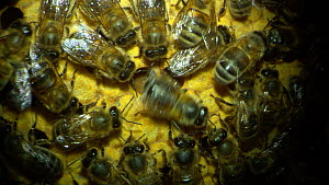 Honey bee (Apis mellifera) performing a waggle dance inside a hive to indicate the position and quality of a food source to other workers, France, July. - Ammonite