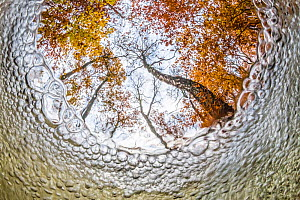 Beech trees (Fagus sylvatica) in autumn, seen from under bubbling brook, the Netherlands, November. Runner up  in Creative Visions category of the Wildlife Photographer of the Year 2013 competition  -  Theo  Bosboom