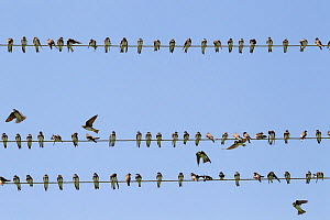 Sand martin (Riparia riparia) sitting on wires during migration. Greece. May - David Pattyn