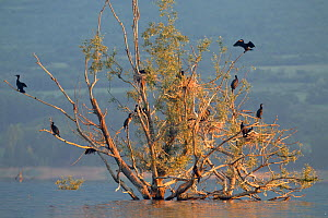 Flooded willow trees with nesting Great Cormorants (Phalocrocorax carbo) in Lake Kerkini, Greece, May. - David Pattyn