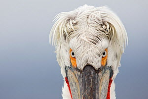 Dalmatian Pelican (Pelecanus crispus) portrait, close-up of eyes, Lake Kerkini, Greece. February - David Pattyn