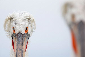 Dalmatian Pelican (Pelecanus crispus) portrait, Lake Kerkini, Greece. February. Highly honoured in the Birds Category of Nature's Best Photography Windland Smith Rice International Awards Competition...  -  David  Pattyn