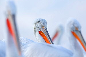 Dalmatian Pelican (Pelecanus crispus) close-up of a group in last afternoon light. Lake Kerkini, Greece. February - David Pattyn