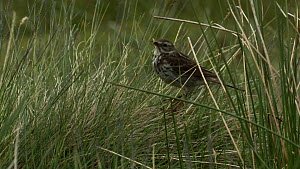 Meadow pipit (Anthus pratensis) catching insects in long grass, Yorkshire, England, UK, June.  -  Mick Jenner